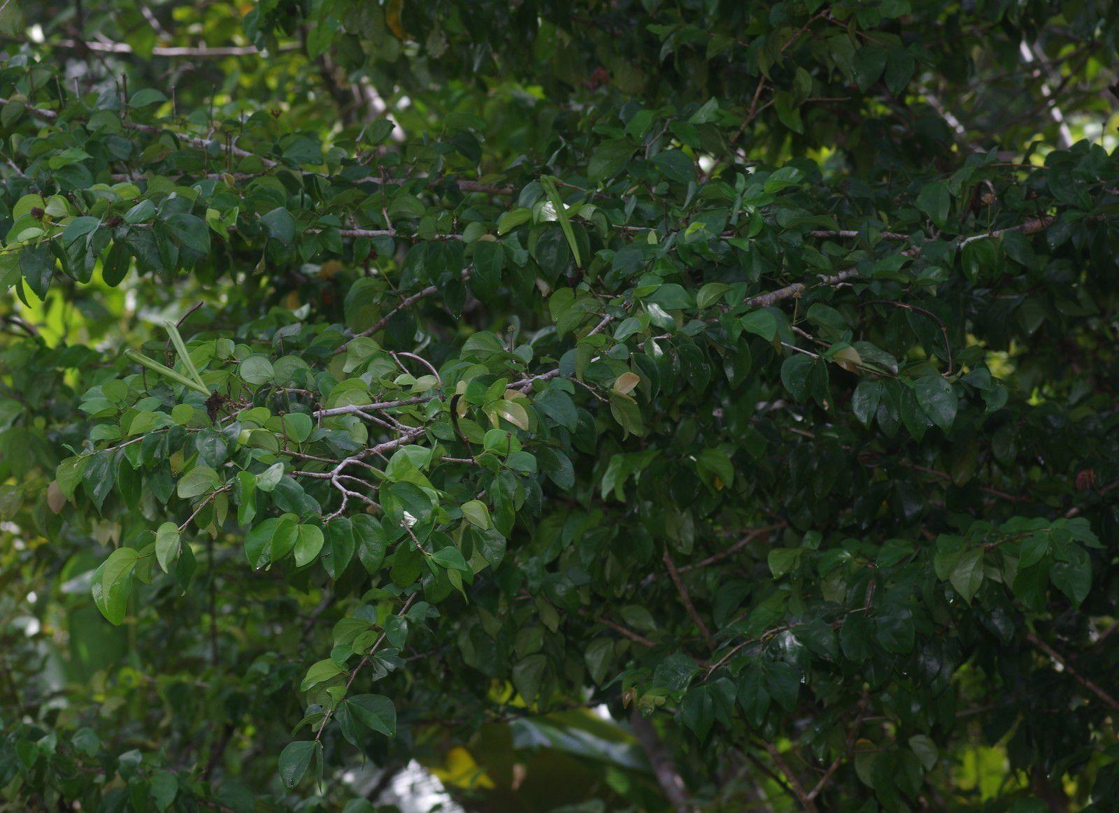 Calliandra hymenaeodes