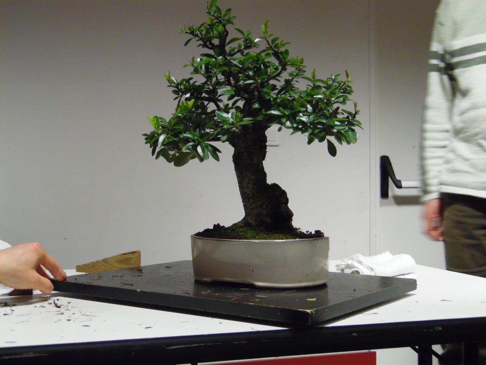 Voici quelques arbres de la première réunion de février ou de très beaux spécimens étaient présents ! Nous avons notamment débattu sur le choix des poteries.