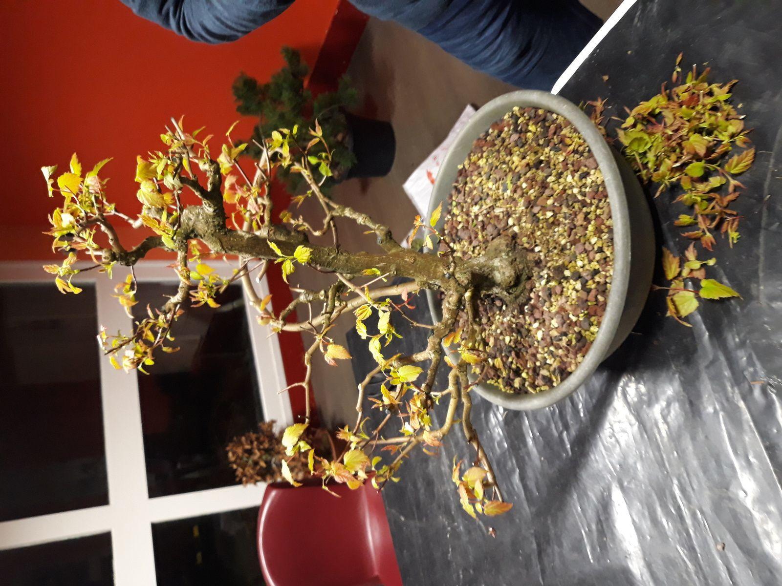 Voici quelques arbres qui ont été travaillés lors de la réunion de vendredi dernier, dont certains en prévision de l'exposition du weekend prochain !!!