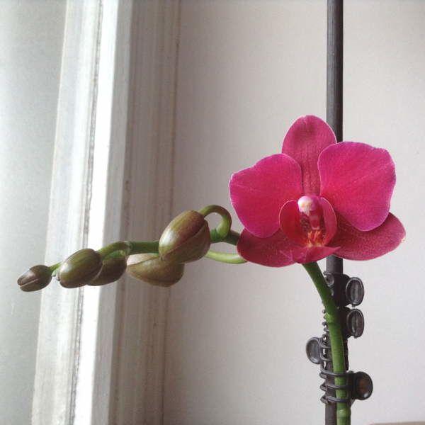 le Retour de l'orchidée fou II