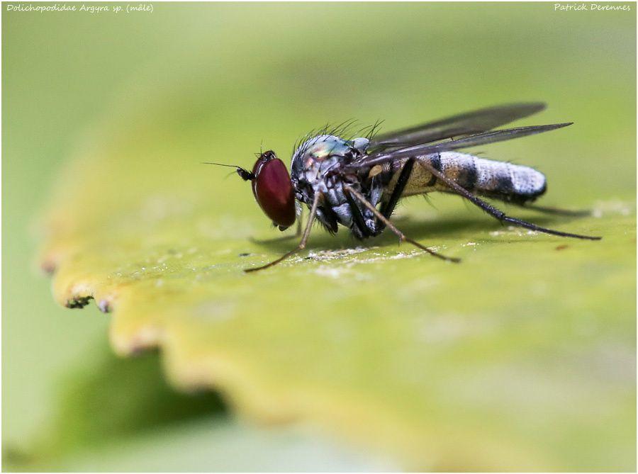 Argyra sp. (mâle)