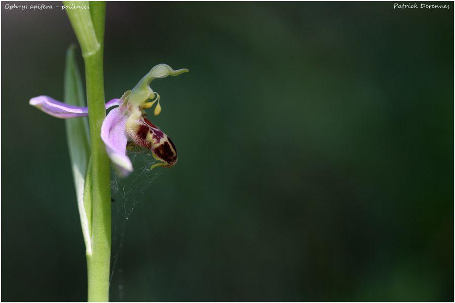 pollinies