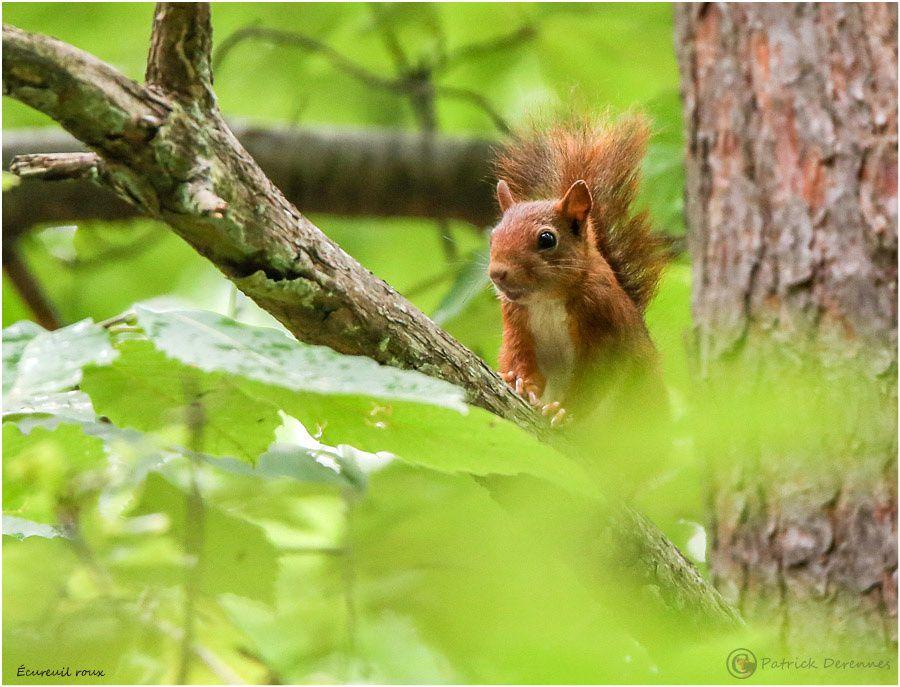 Ecureuil roux - bis