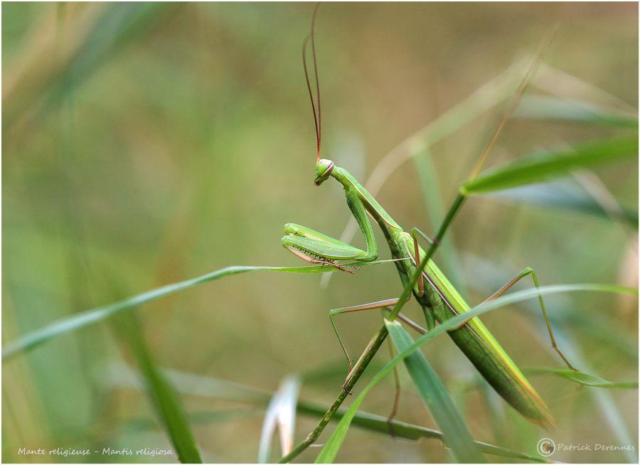 Dans la famille Mantidae, je voudrais la religieuse, le diablotin et la décolorée ...