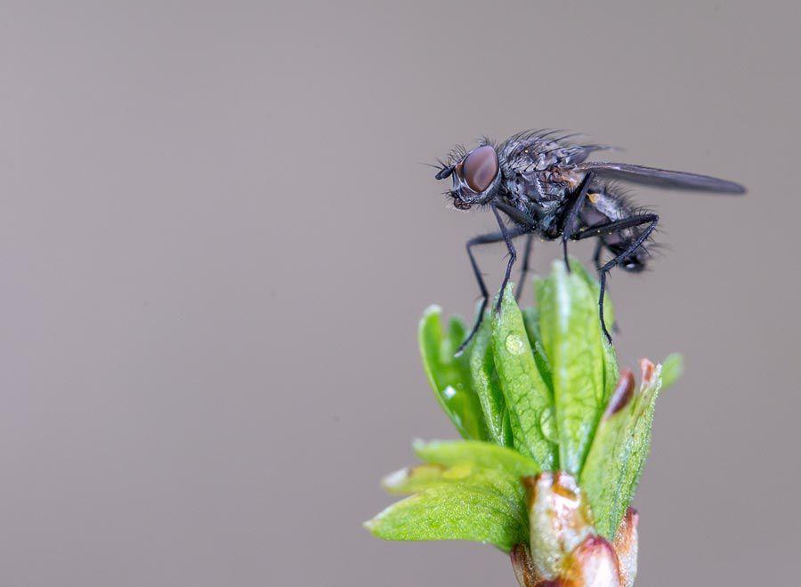 Anthomyiidae Delia platura