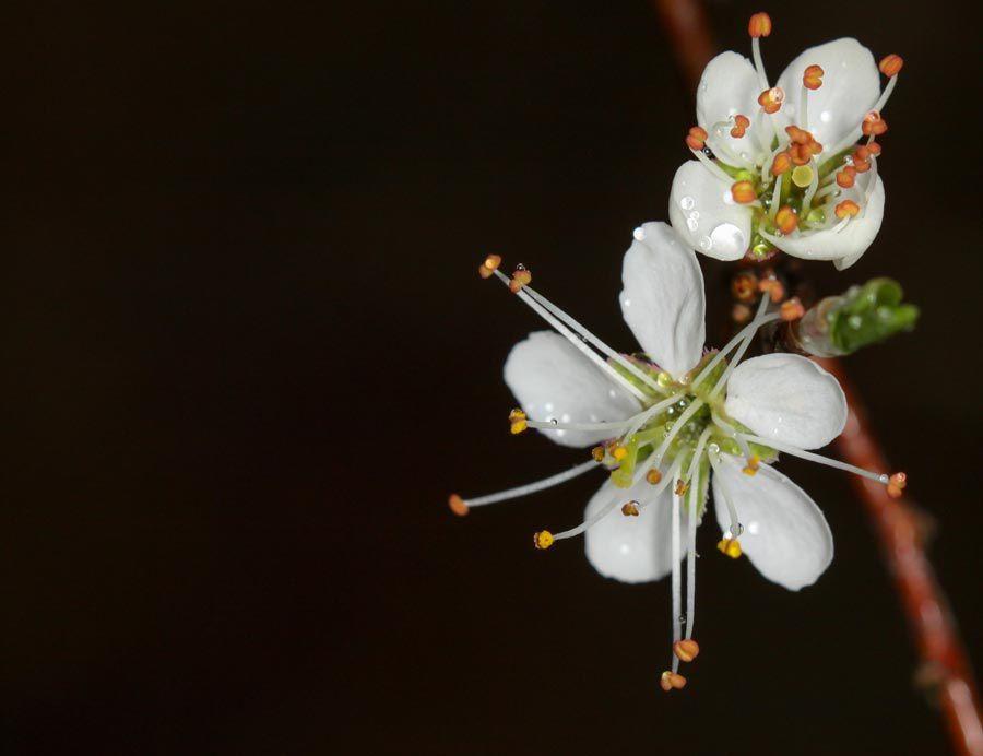 Quiz = Prunus spinosa, Prunelier, Epine noire, etc.