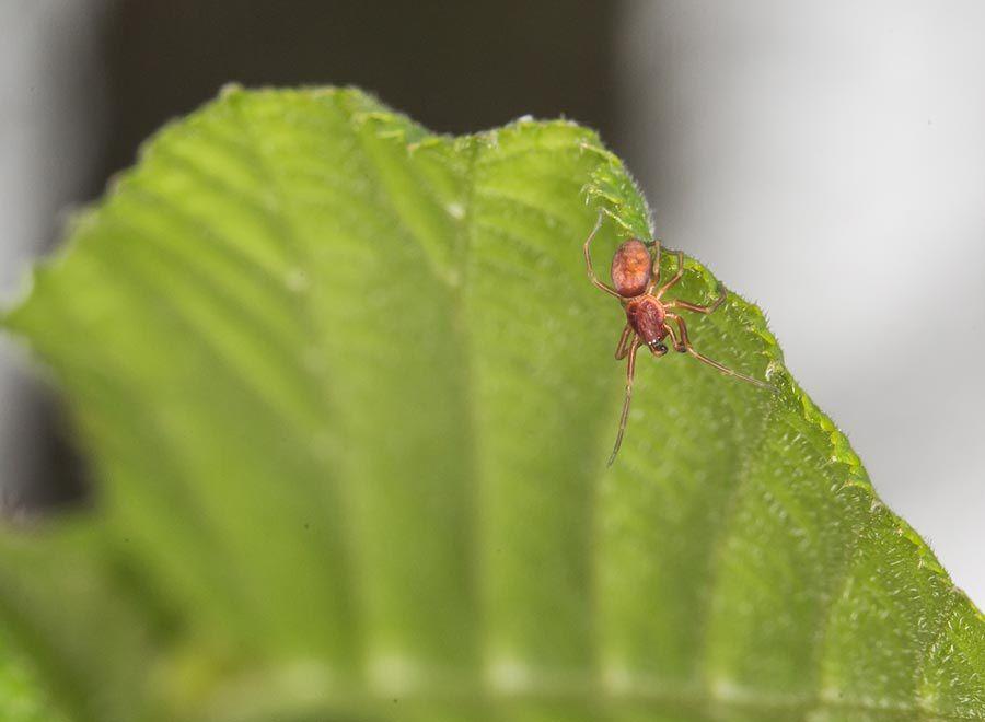 Dictynidae Nigma sp. (mâle) - Bis