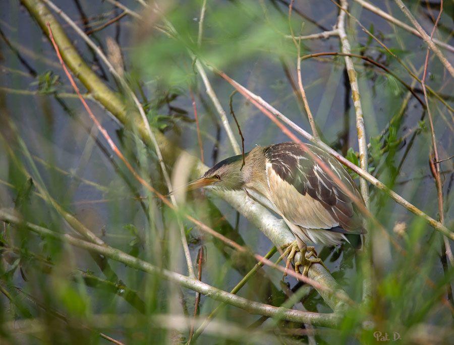 blongios nain - mâle en vol et femelle posée
