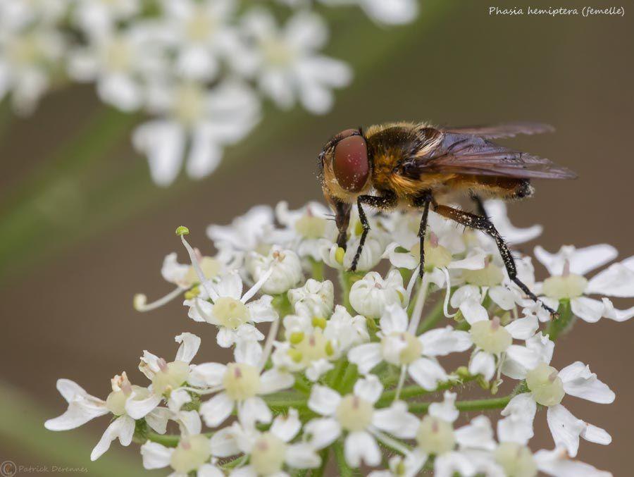 Phasia hemiptera (femelle)