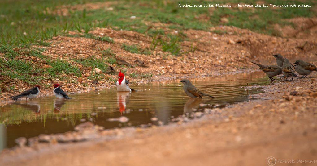 Pantanal - Ambiances à la flaque d'eau