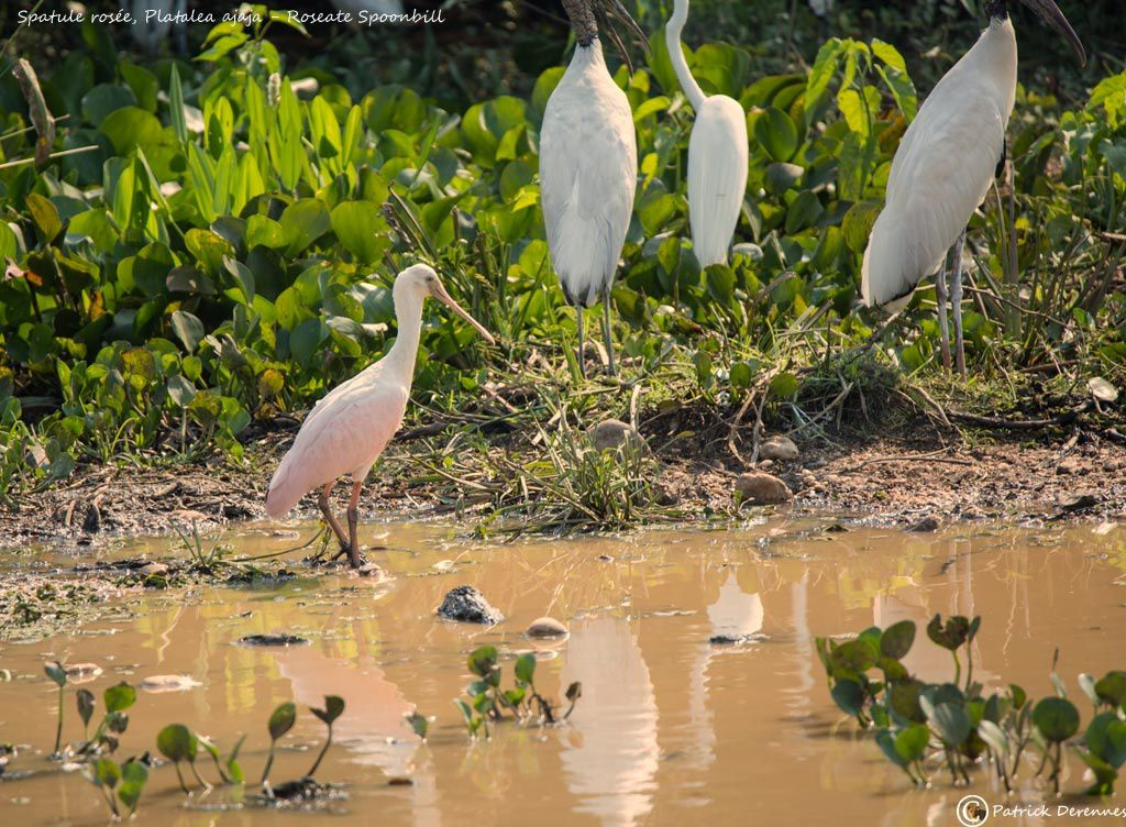 Pantanal - 28 c
