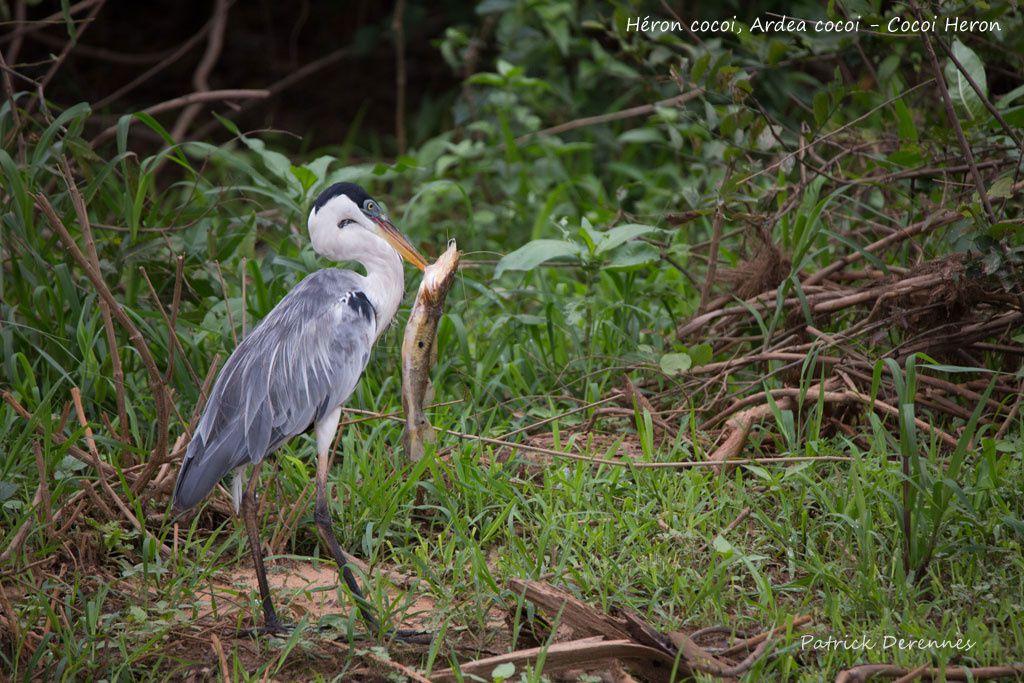 Pantanal - 68 d