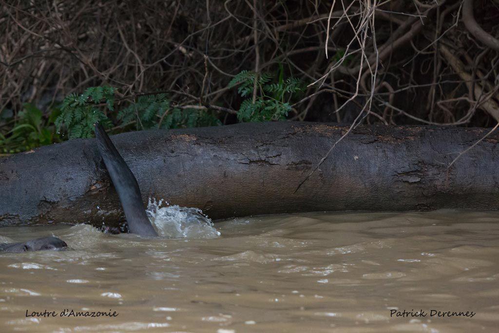 Pantanal - 77 f
