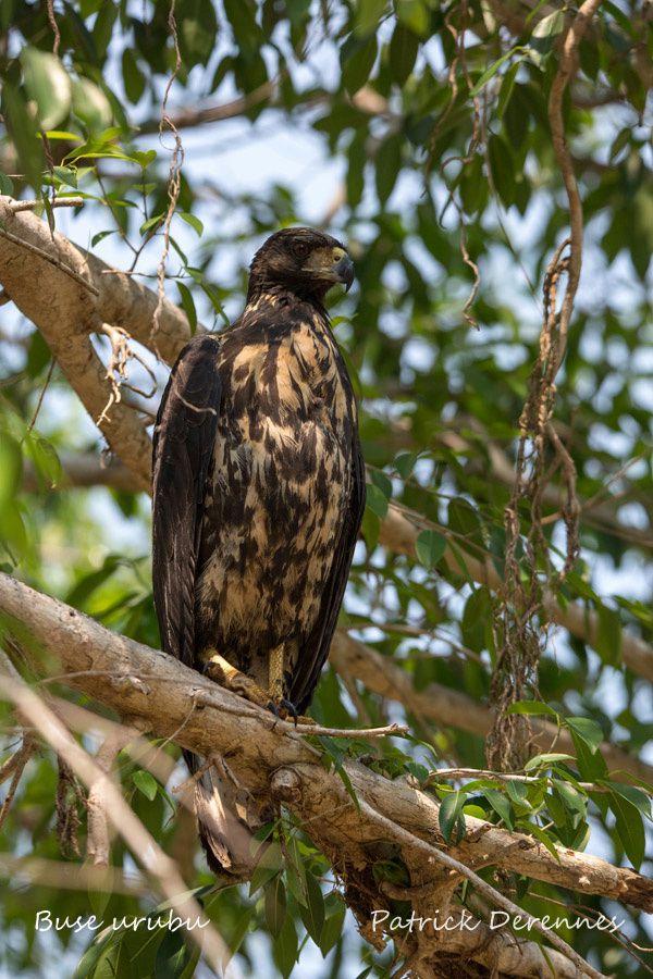 Pantanal - Buse urubu juvénile