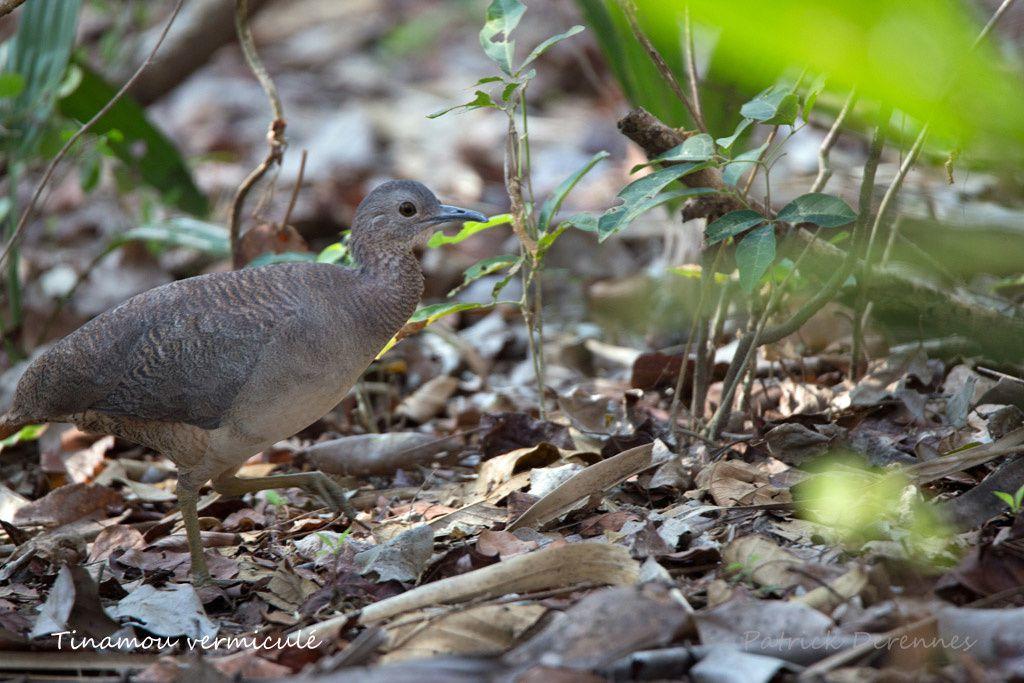 Pantanal - Tinamou vermiculé