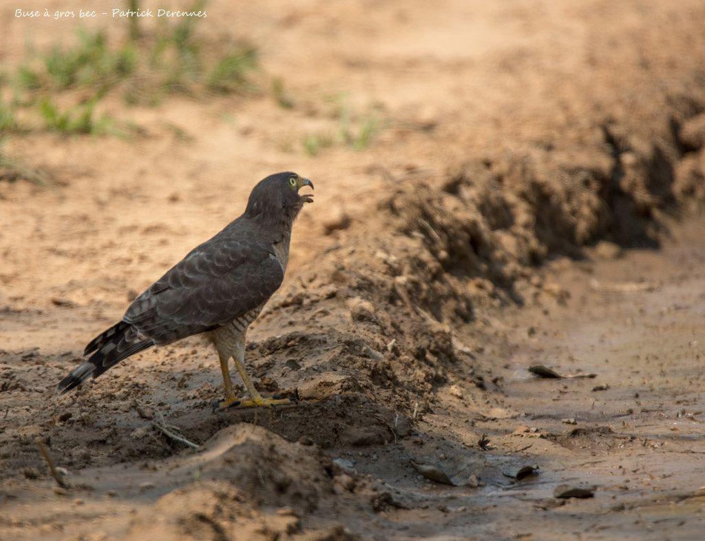 Pantanal (fin) - Buse à gros bec