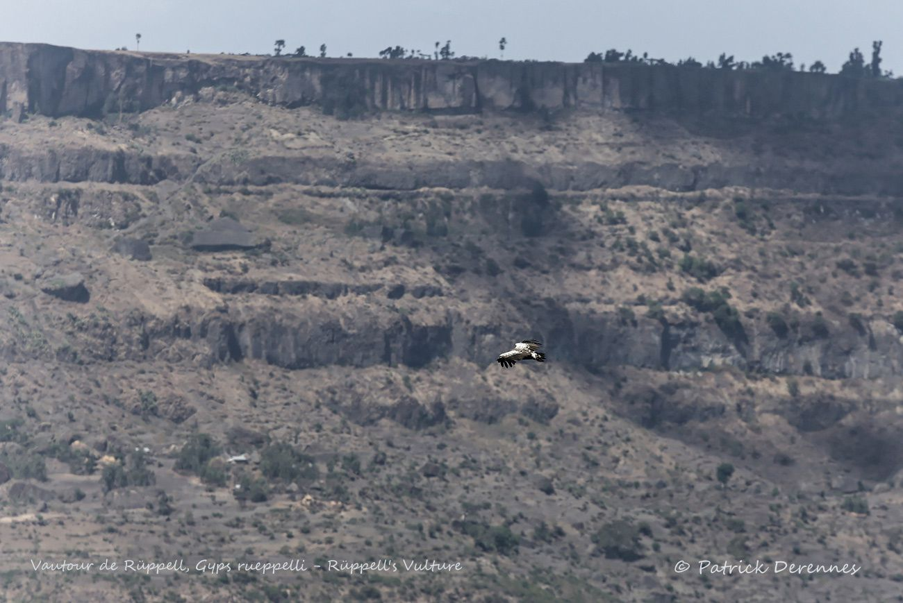 Ethiopie - Vautour de Rüppell