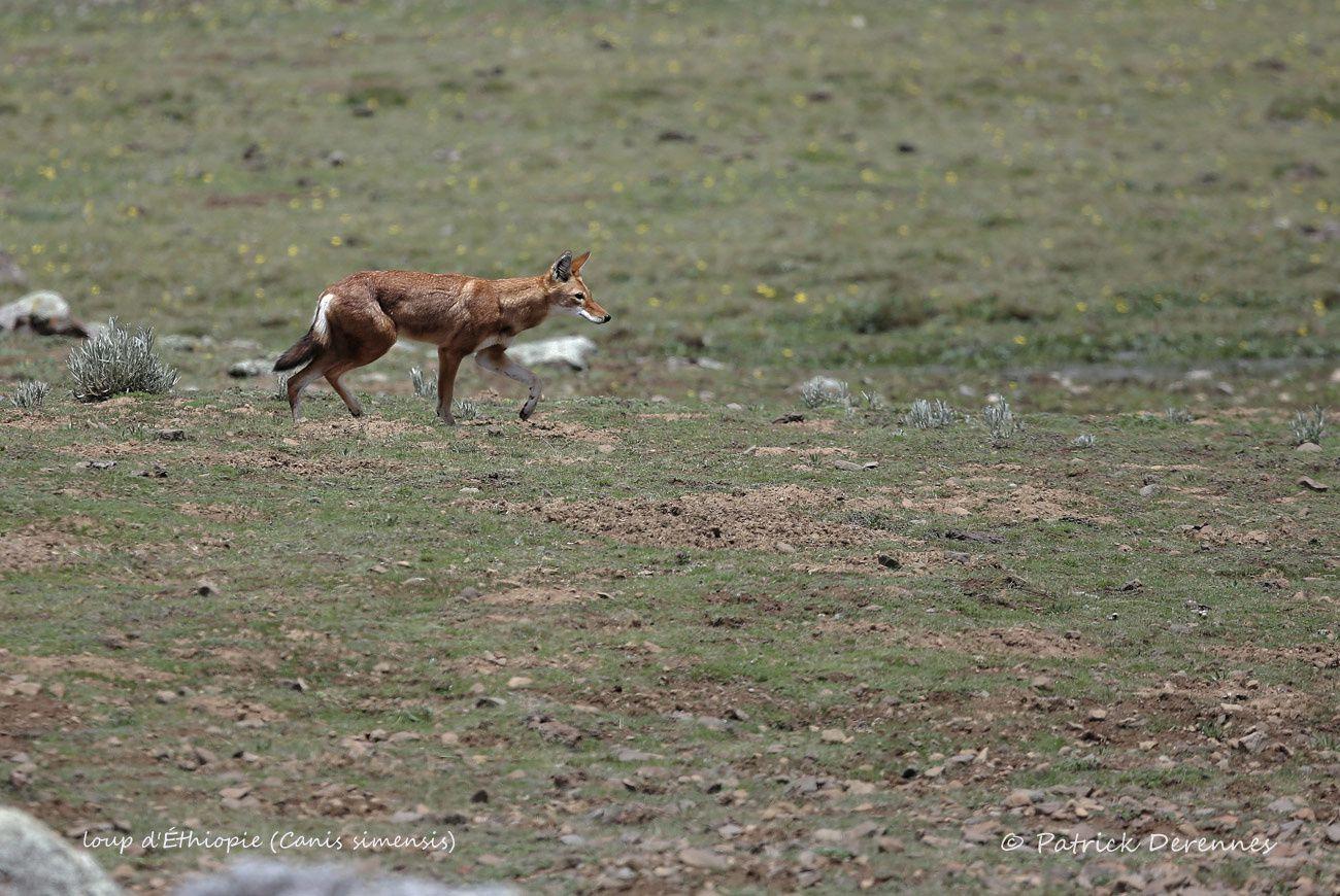Ethiopie 2013 - Loup d'Ethiopie