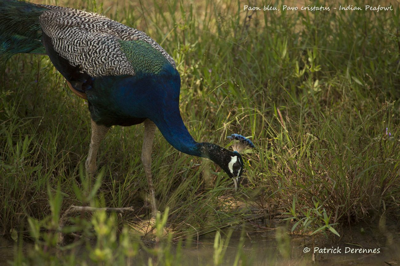 Sri Lanka - Paon bleu (mâle)