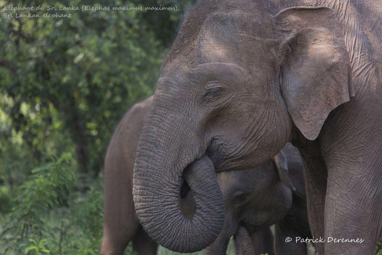 Sri Lanka - Éléphant du Sri Lanka