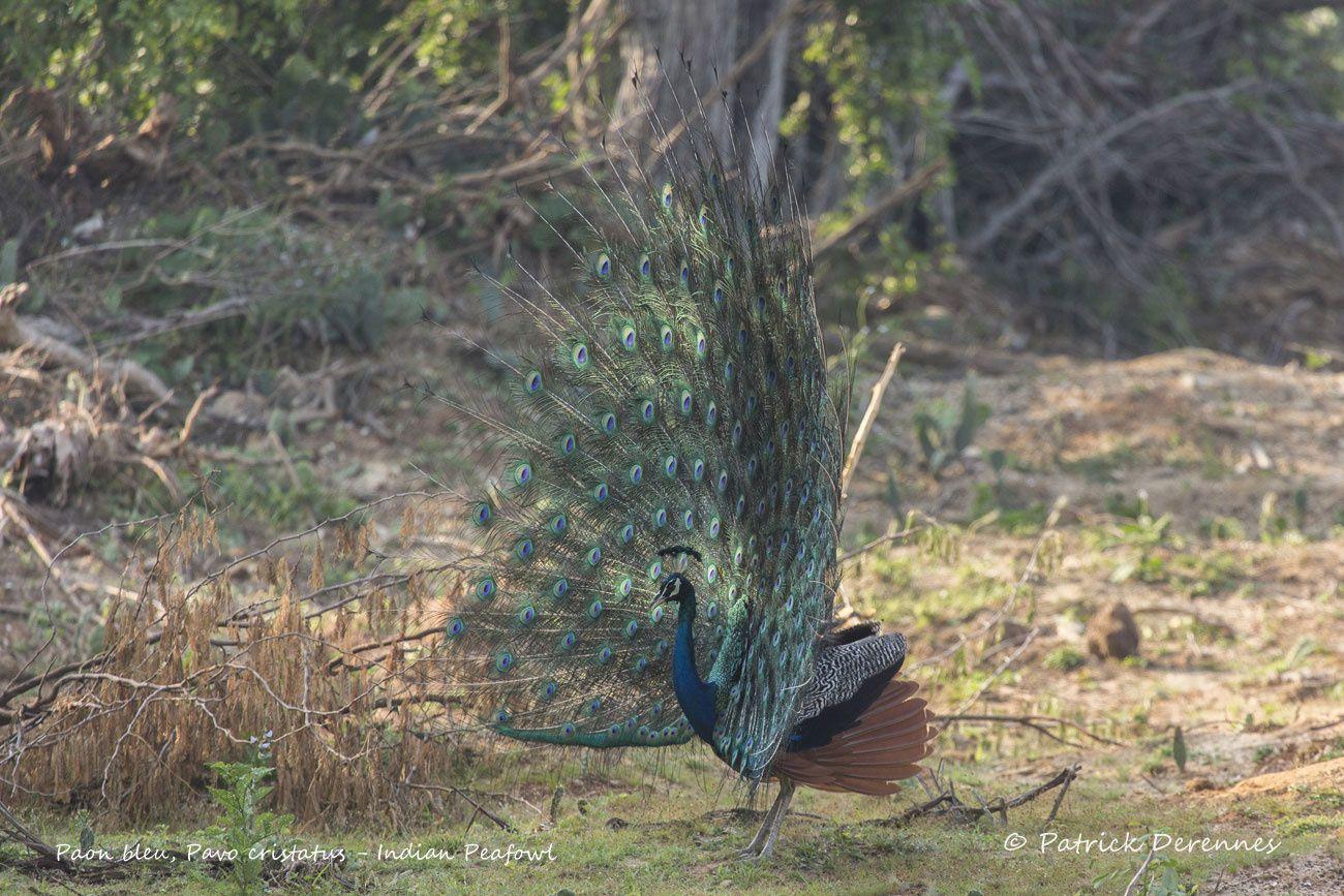 Sri Lanka - Paon bleu (suite)