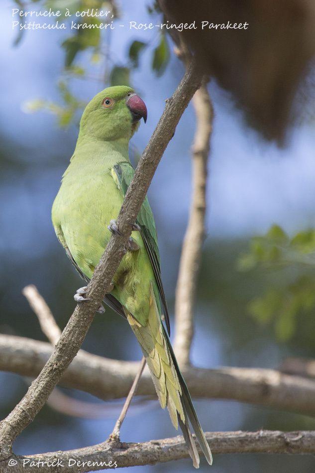 Sri Lanka - perruche à collier