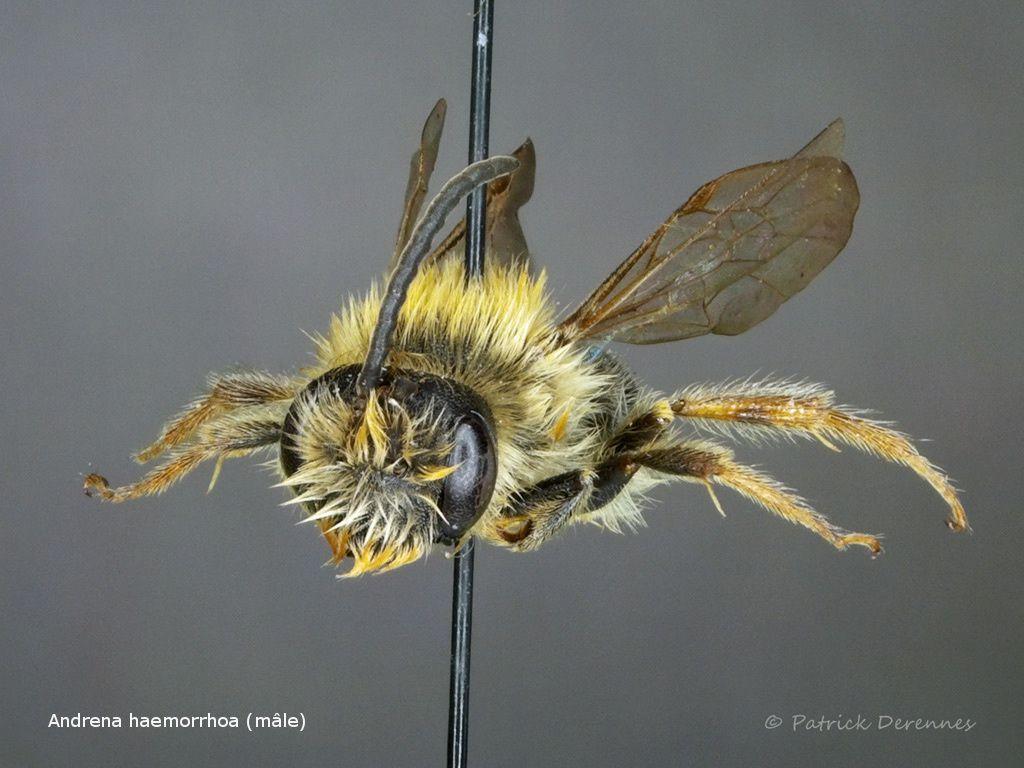 Andrena haemorrhoa (mâle)