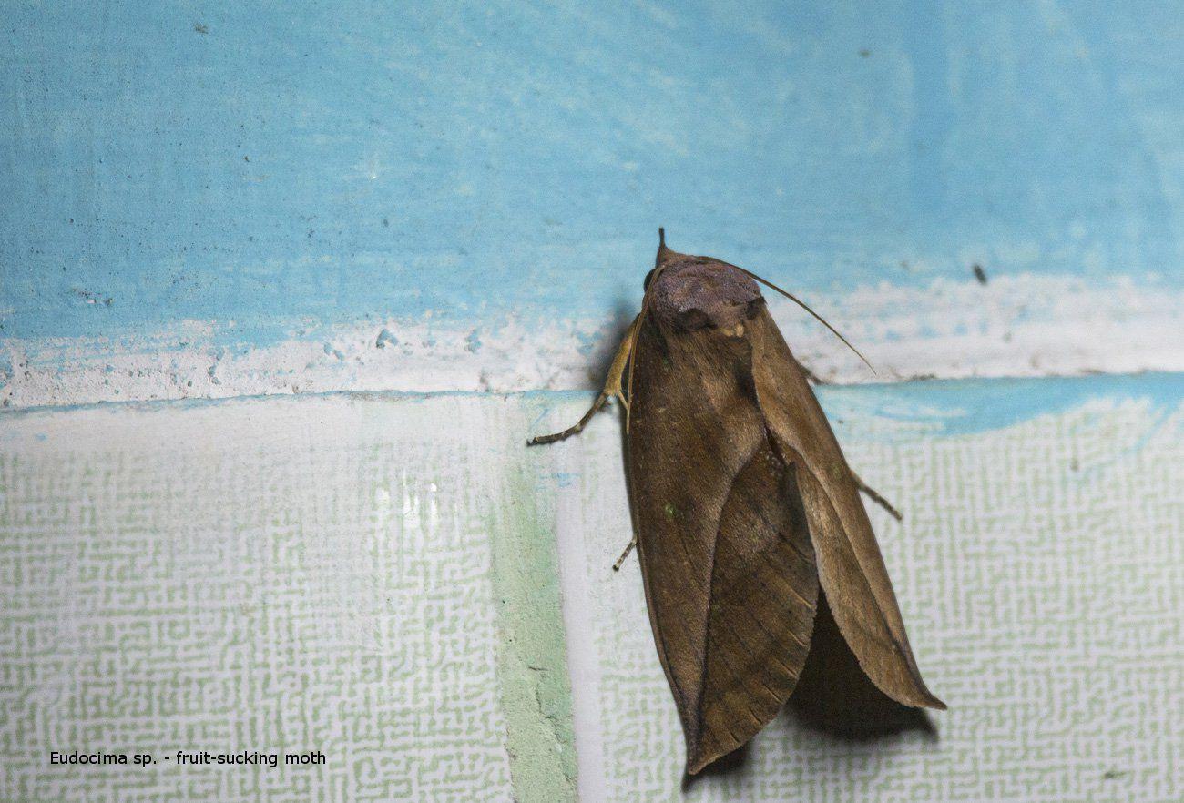 Eudocima sp. - fruit-sucking moth