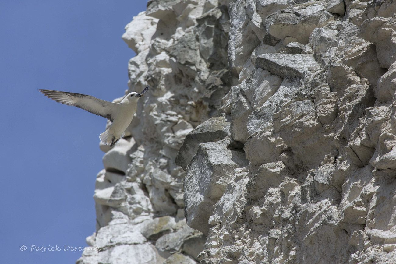 Fulmar on the rocks