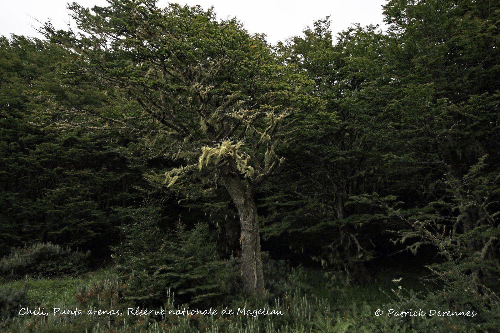 Punta arenas - Nothofagus cf. betuloides et parasites