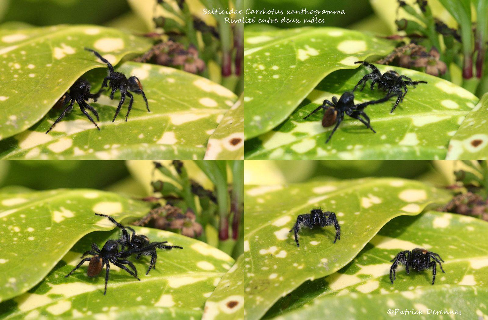 Carrhotus xanthogramma - intimidation entre deux mâles