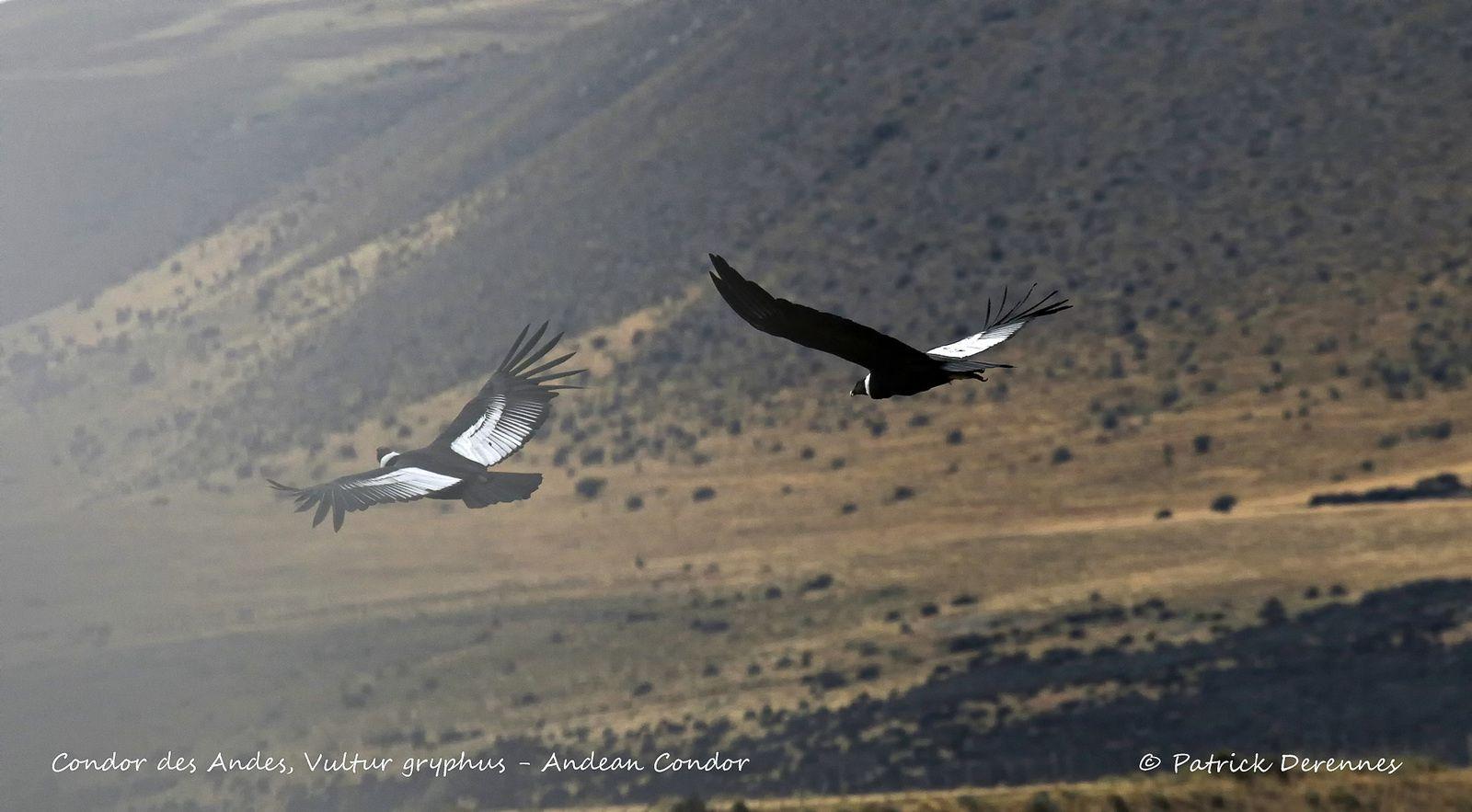 [Chili] Patagonie - Condor des Andes - 2