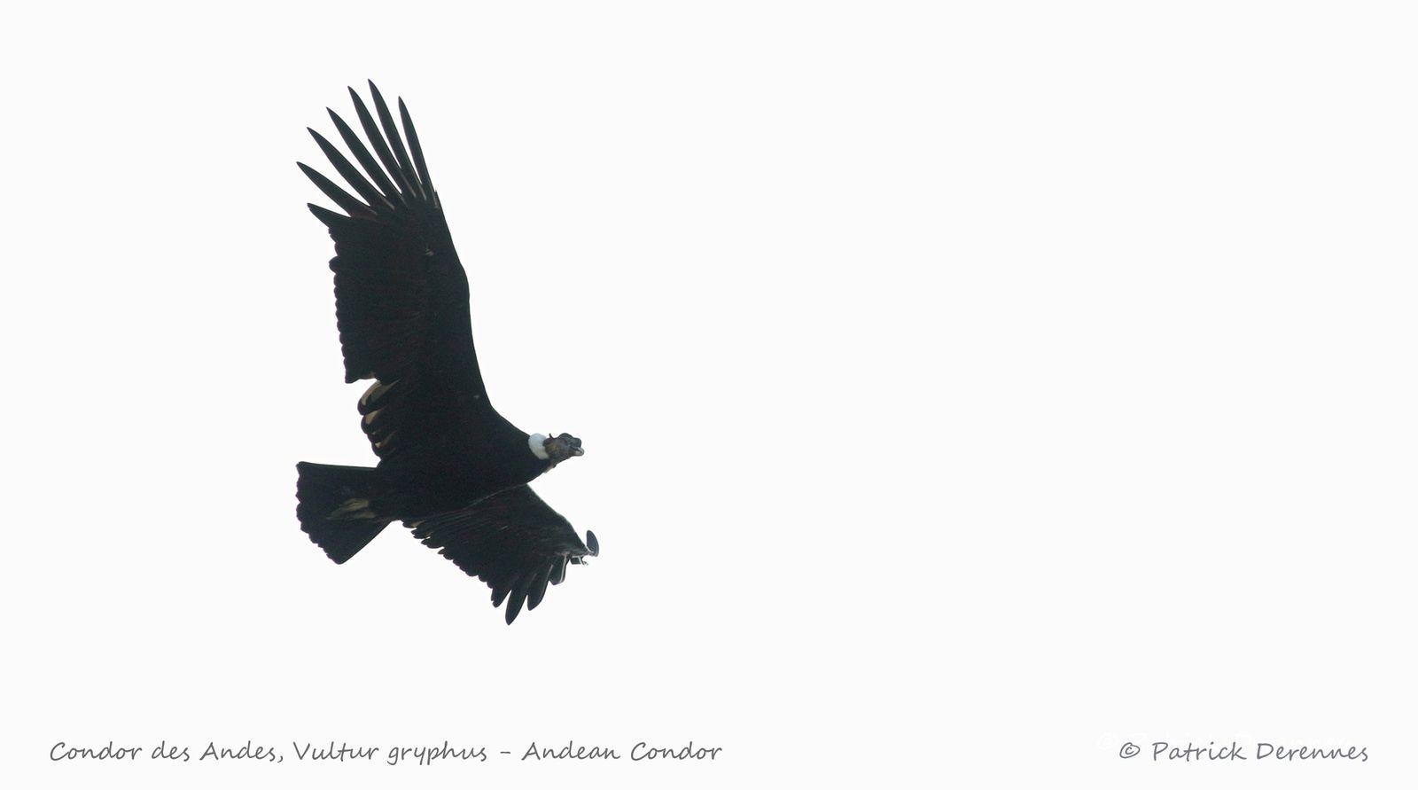 [Chili] Patagonie - Condor des Andes - 3