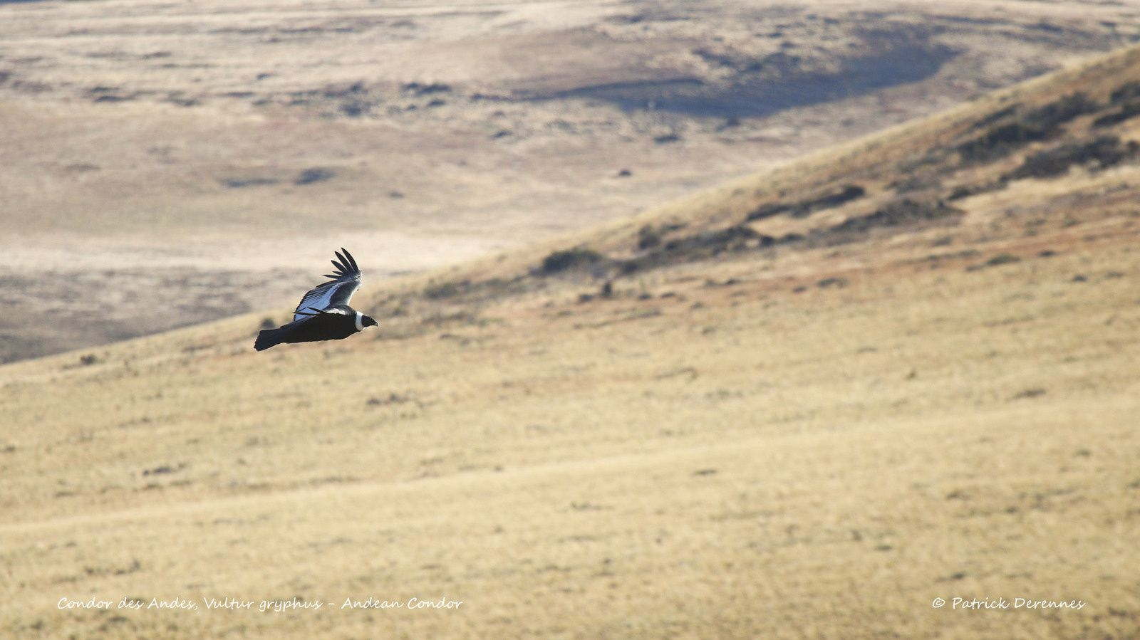 [Chili] Torres del Paine - Condor des Andes planant 1/2