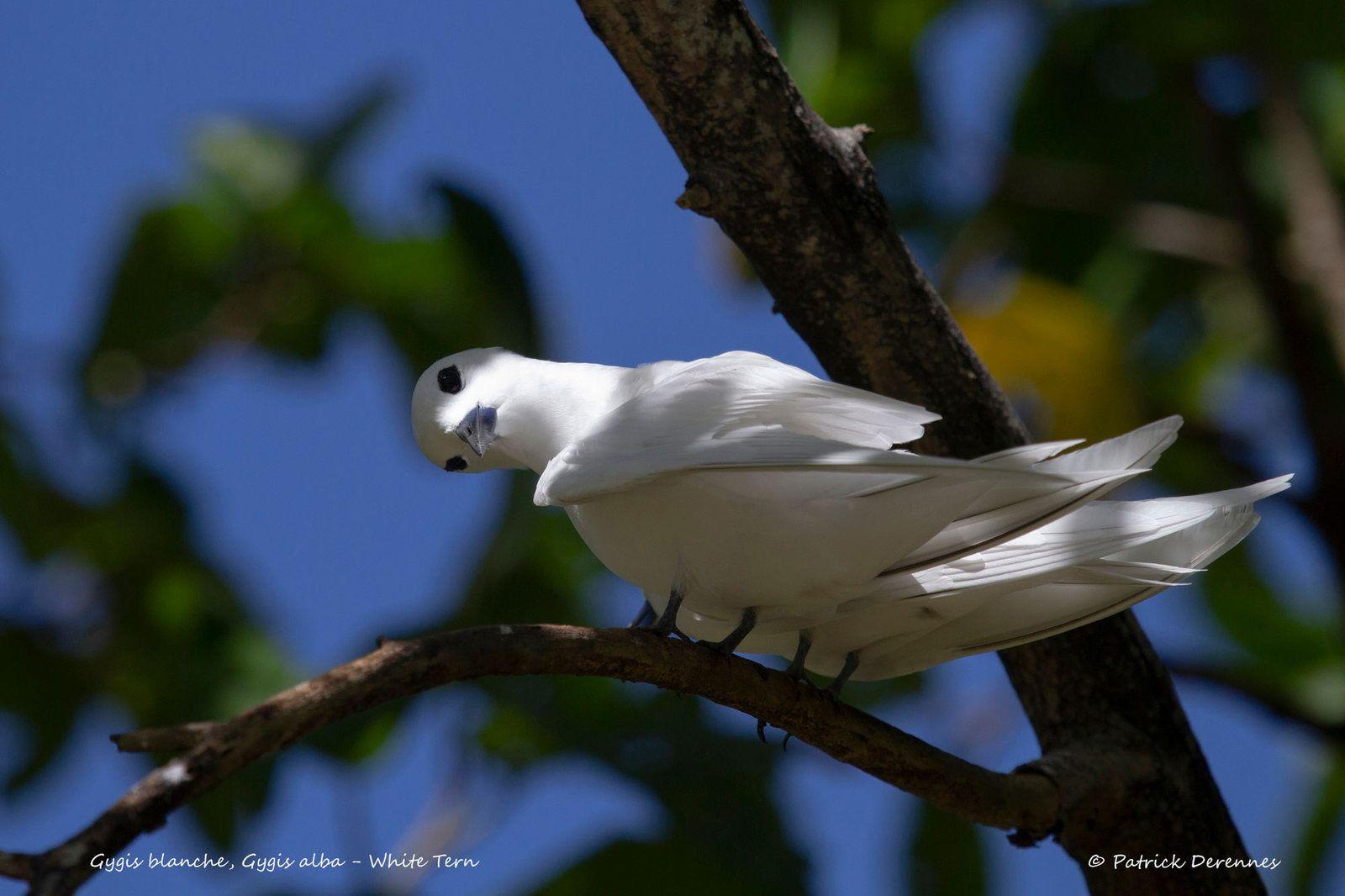 Gygis blanche, Gygis alba - White Tern