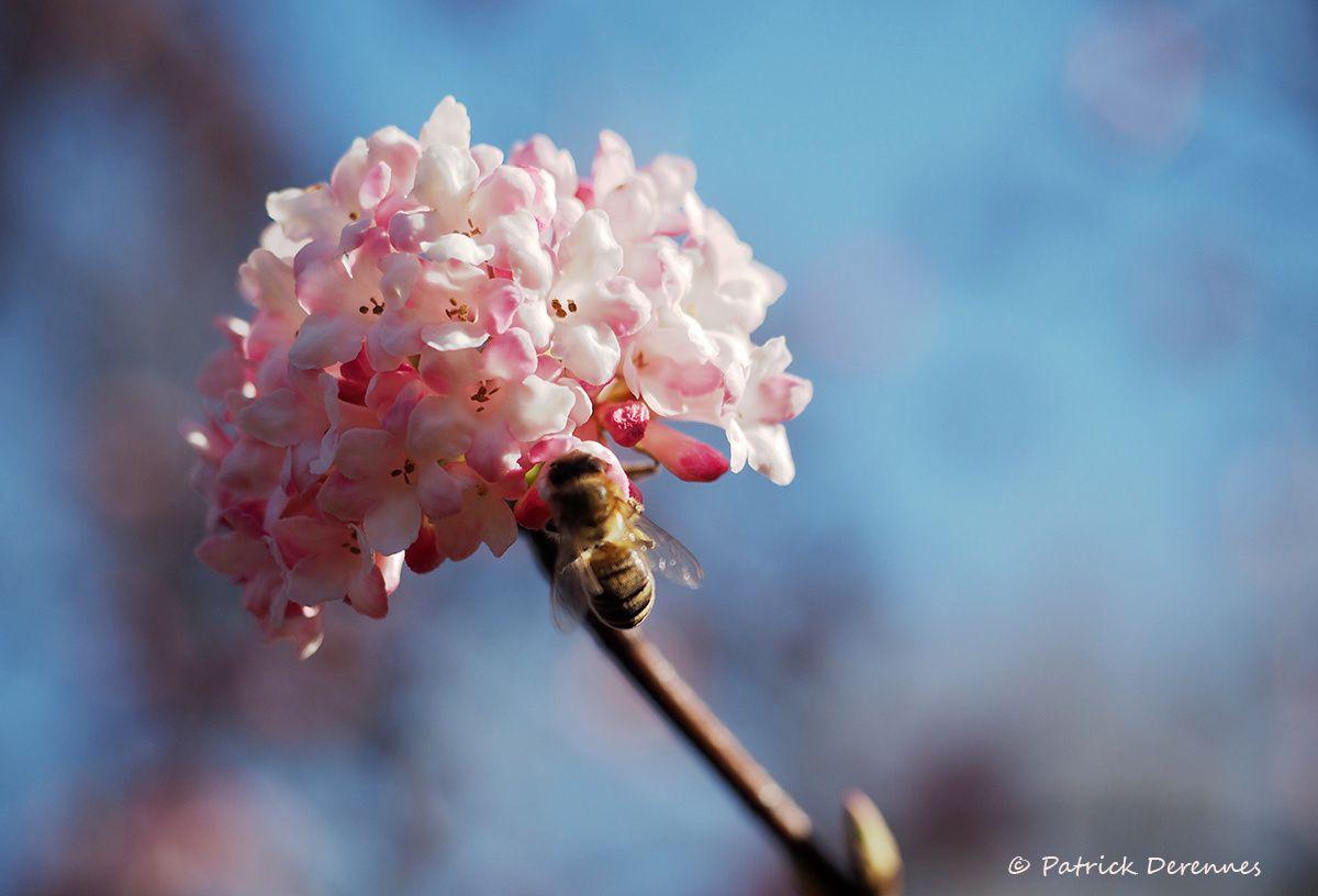 Viorne d'hiver - Viburnum x bodnantense
