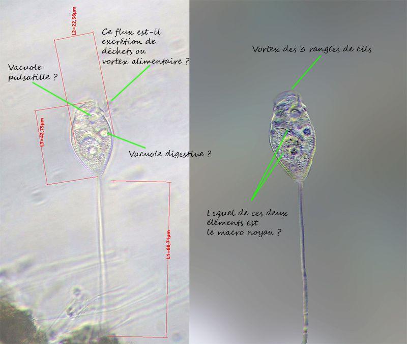 Vorticella sp. - un être qui ne manque pas de ressort