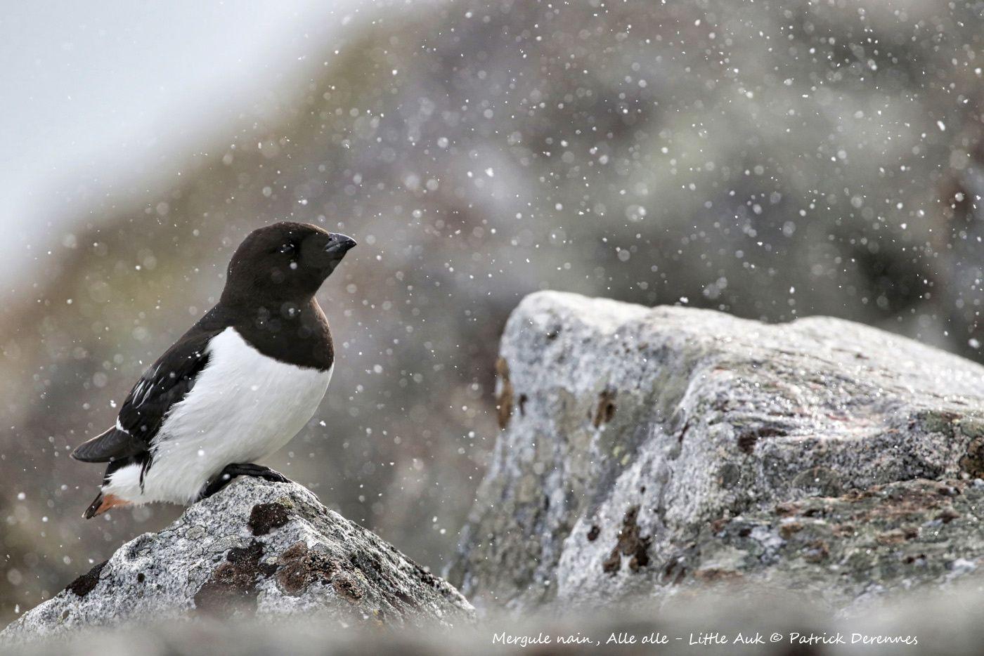 Spitzberg - dernier envoi du site de nidification du Mergule nain