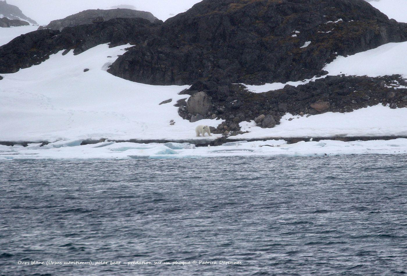 Spitzberg - Ours blanc et carcasse de phoque sp.