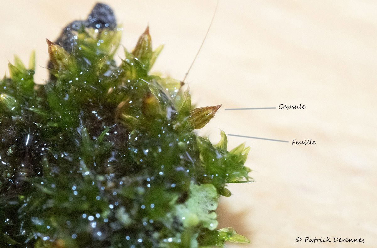 Identification de Orthotrichum diaphanum