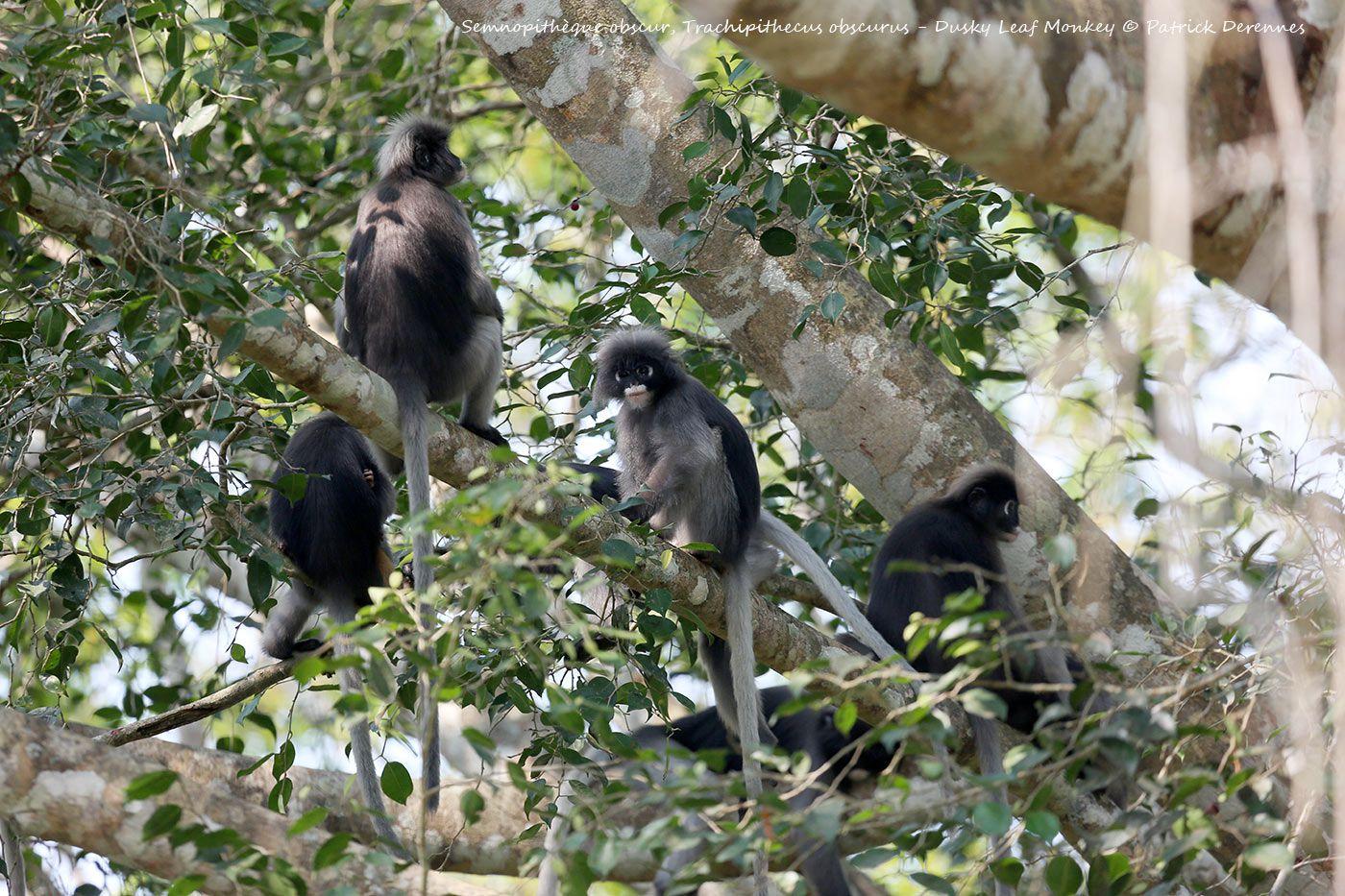 Thaïlande 2014 - Semnopithèque obscur