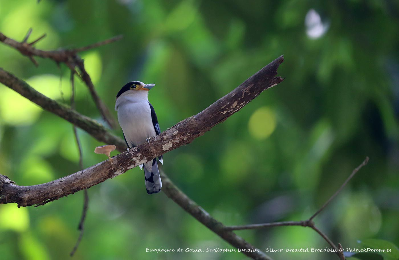 Thaïlande 2014 - Eurylaime de Gould