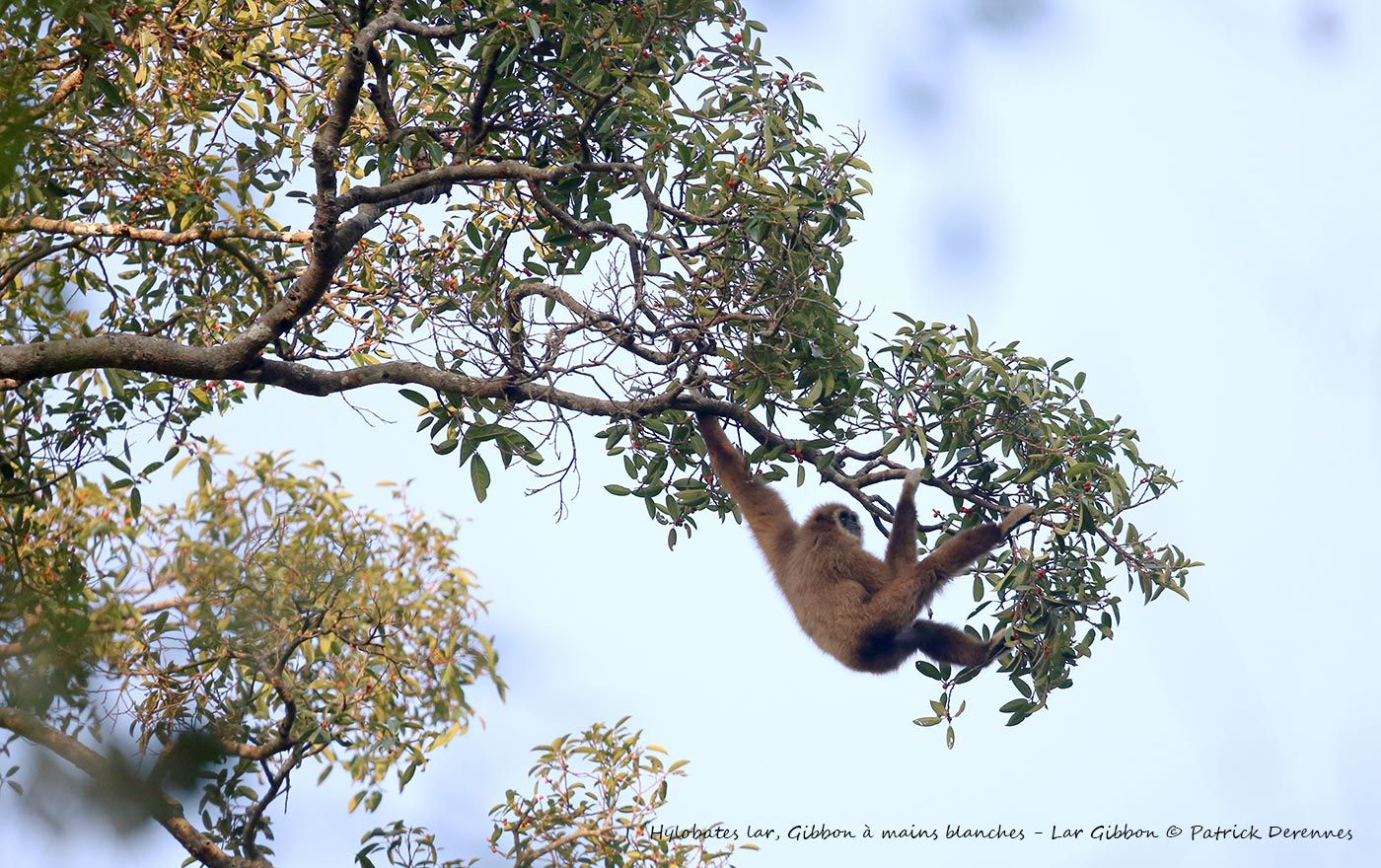 Thaïlande 2014 - Gibbon à mains blanches