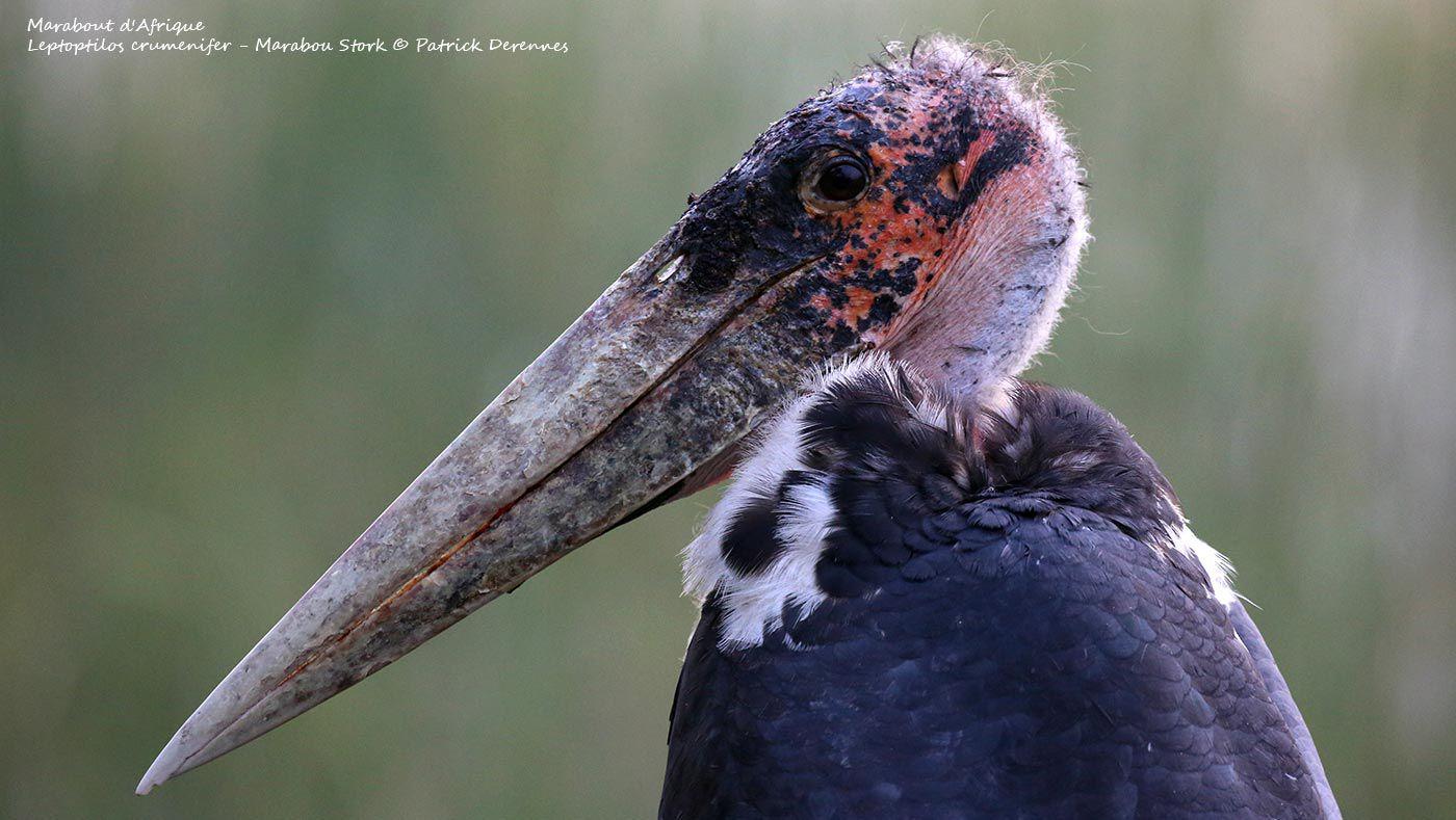 Marabout d'Afrique, Leptoptilos crumenifer - Marabou Stork