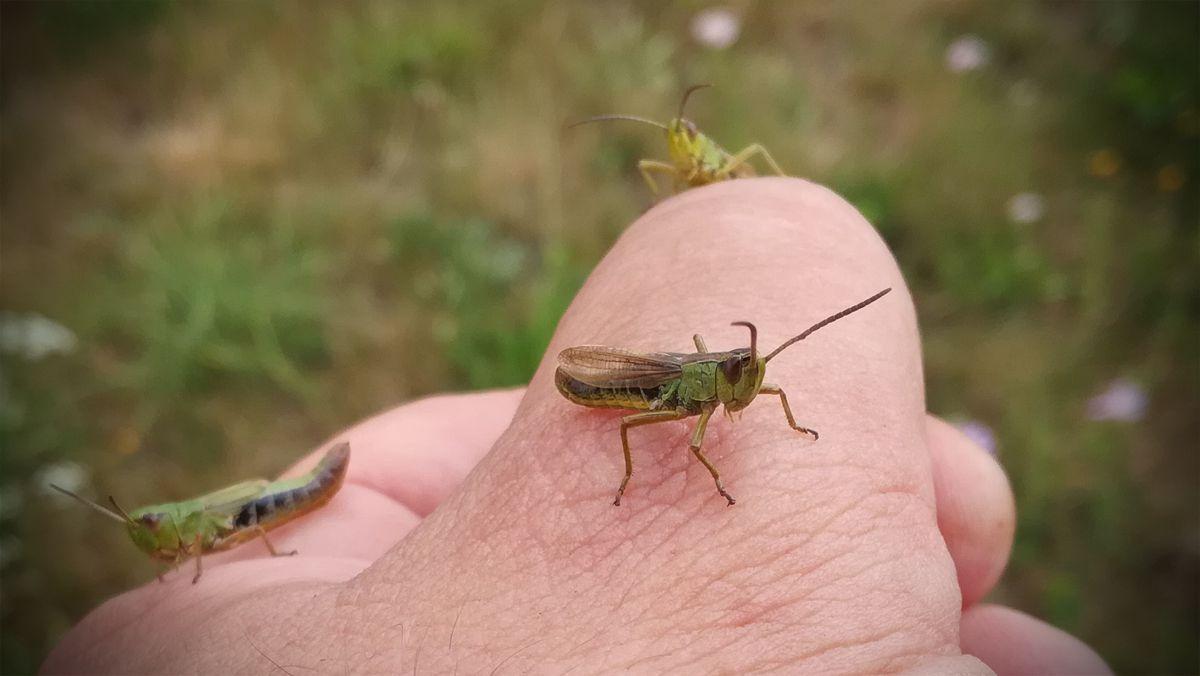 Le mâle est facilement identifiable car il est plus petit que la femelle / Préférez les mâles aux coleurs plus tranchées, ils sont plus efficaces. Boite mixte pour les sauterelles ou les mouches / en bois et maison pour préserver de la chaleur