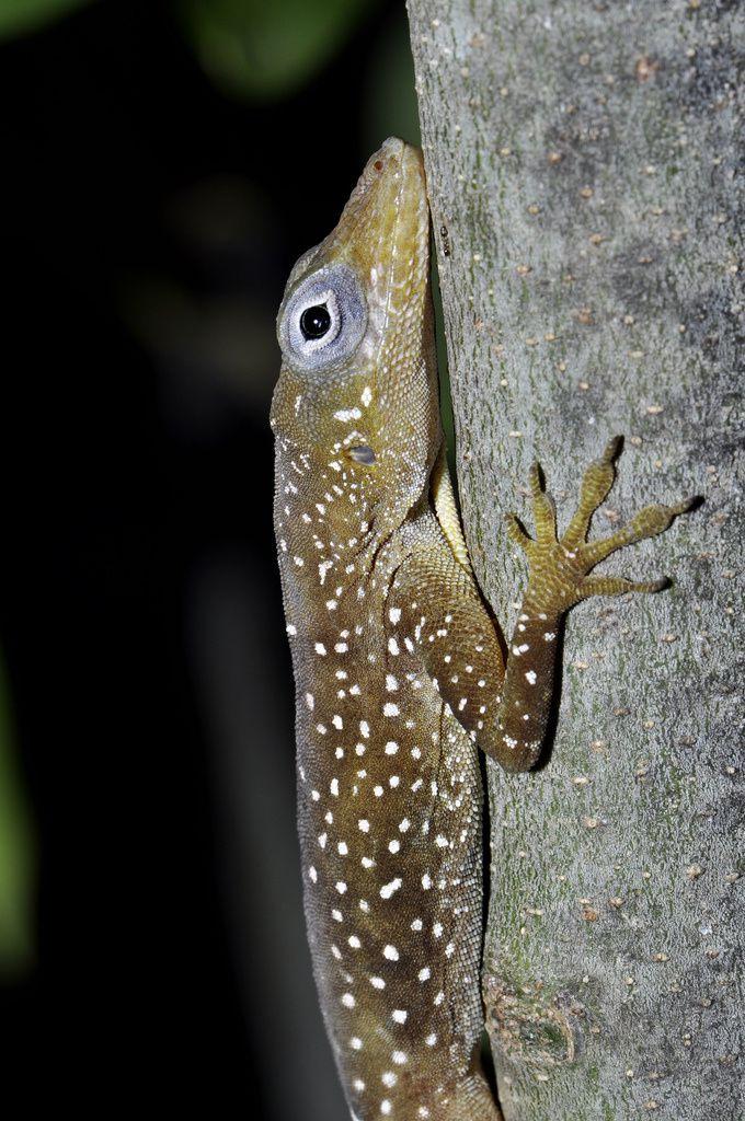 """""""L'Anolis des ilets Pigeon """" . Il est apparu au cours de notre étude que cet anolis se différencie phénotypiquement des autres anolis de la Guadeloupe. Nous émettons l'hypothèse qu'il s'agirait d'une sous-espèce voire d'une espèce endémique à part ! crédit photo : Karl Questel"""