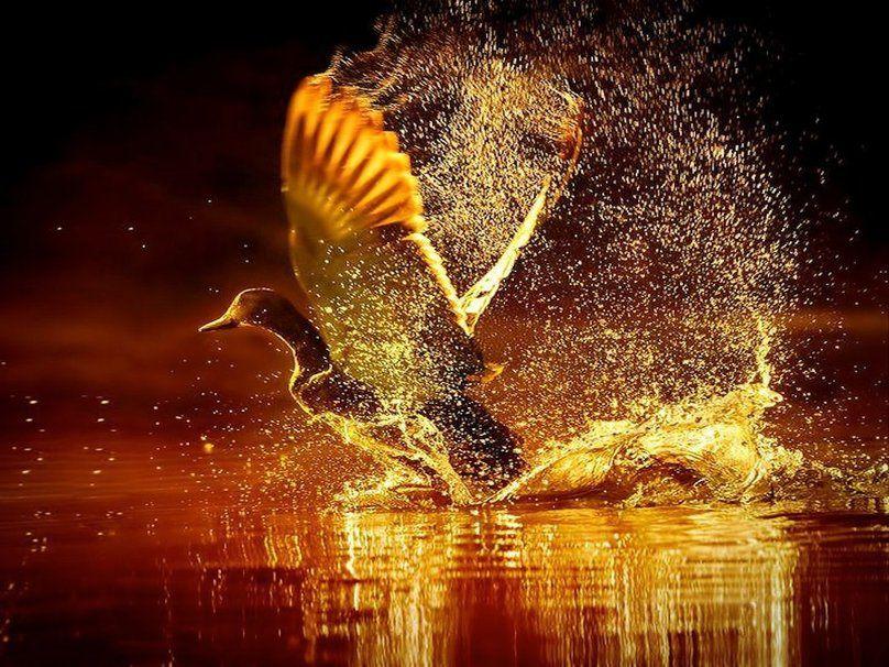 Oiseau - Canard - Wallpapers - Fonds d'écran - Free