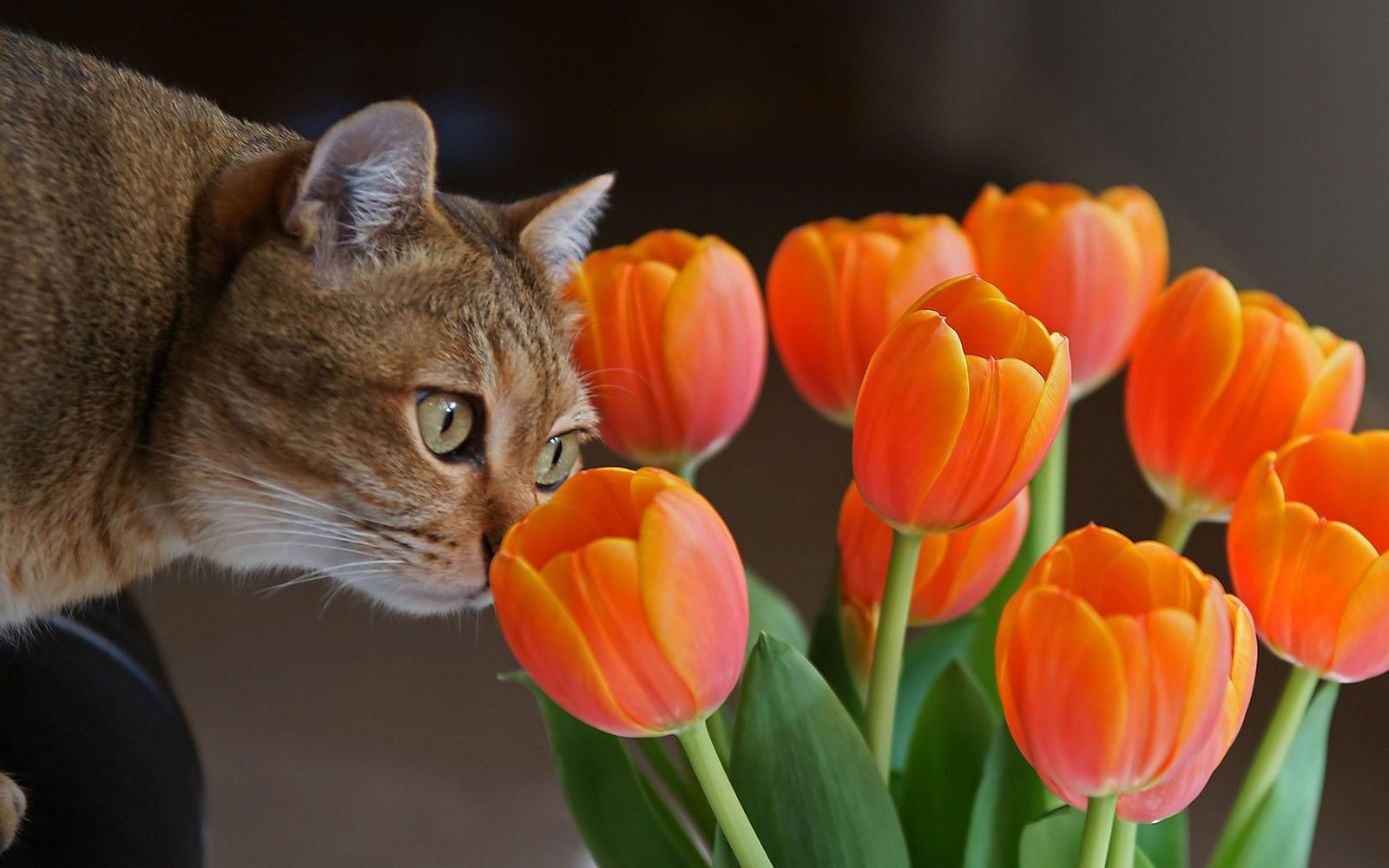 Chat - Tulipes oranges - Wallpapers - HD