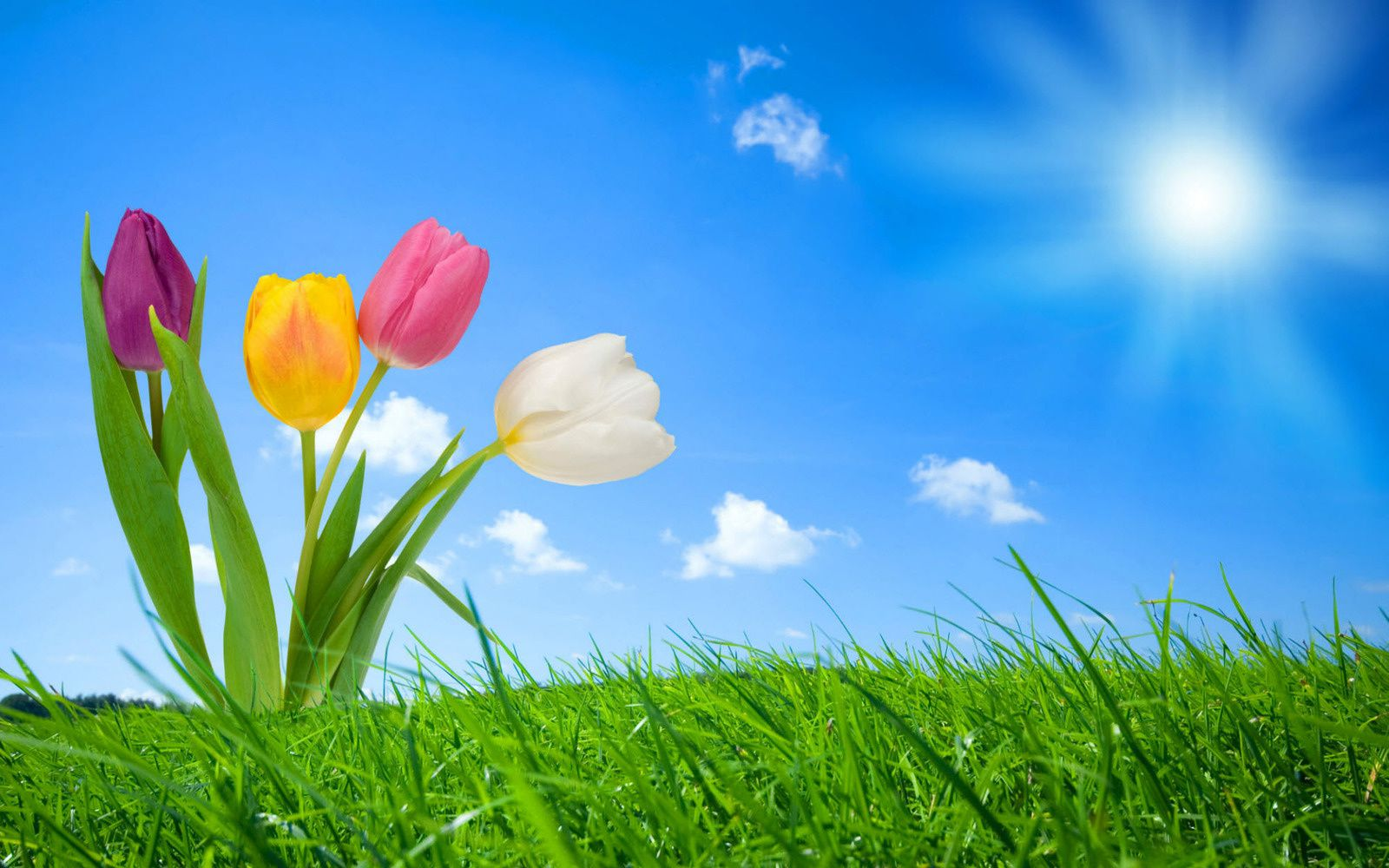 Tulipes - Soleil - Nature - Wallpapers