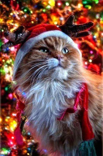 Chat - Sapin - Noël 2015 - Picture - Free